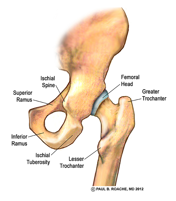 fb93457a69c1f The Center of your Hip Joint with the Femur Pulled Away This illustration  shows the interior of the ball and socket. You can see how the head of the  femur ...